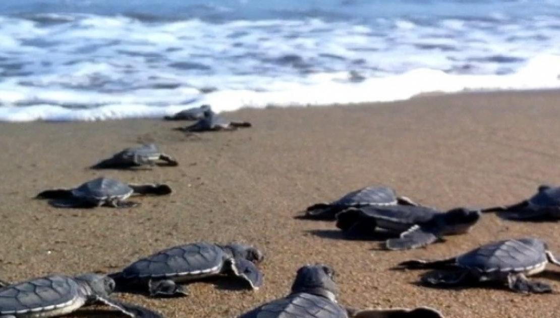 Cala Sinzias, nati i piccoli della Tartaruga Caretta Caretta